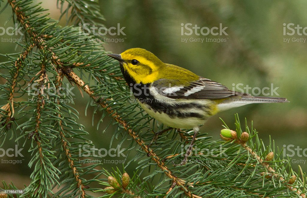 Black-throated green warbler in spring stock photo
