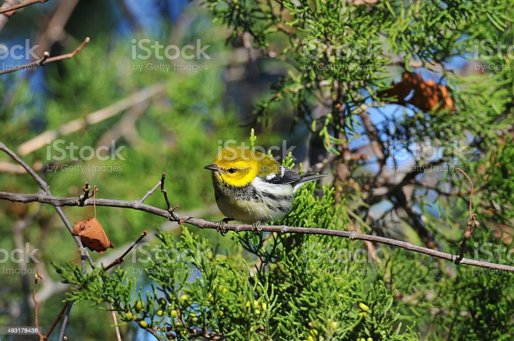 Black-throated Green Warbler Perched stock photo