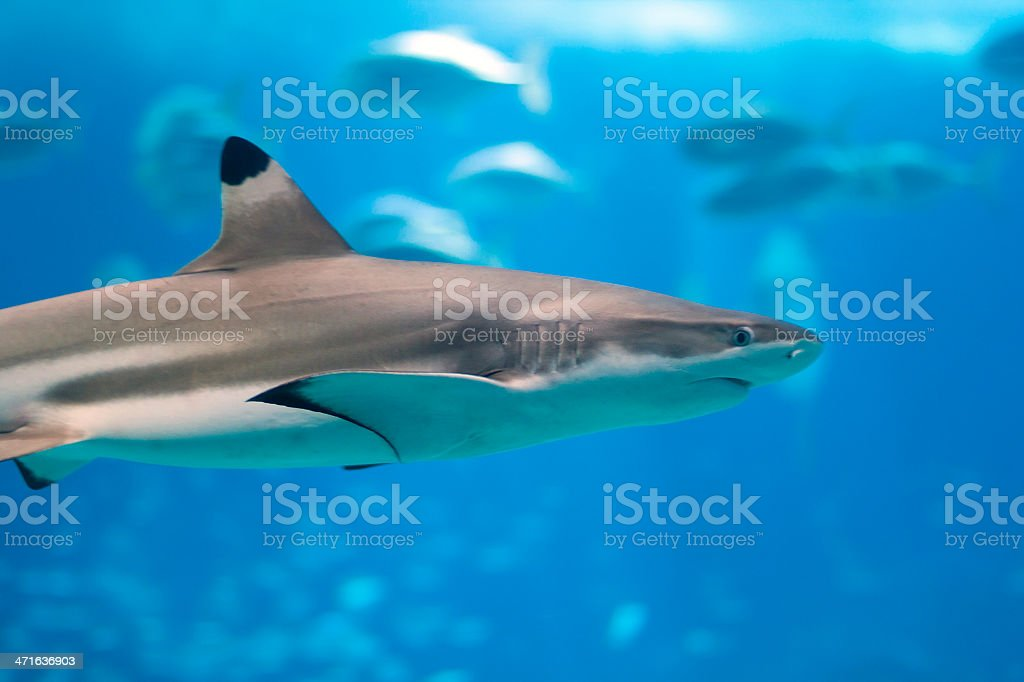 Blacktip Reef Shark royalty-free stock photo