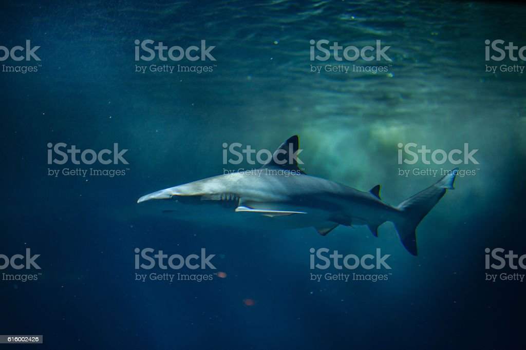 Blacktip reef shark (Carcharhinus melanopterus). stock photo