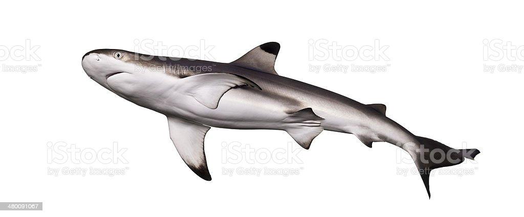Blacktip reef shark viewed from below, Carcharhinus melanopterus stock photo