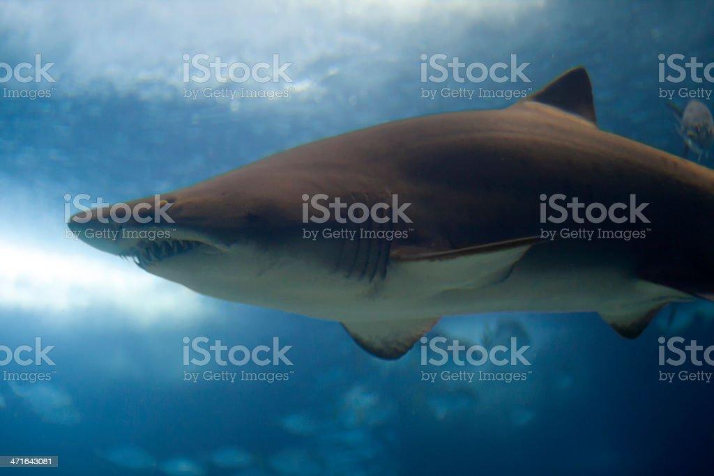 Blacktip Shark royalty-free stock photo