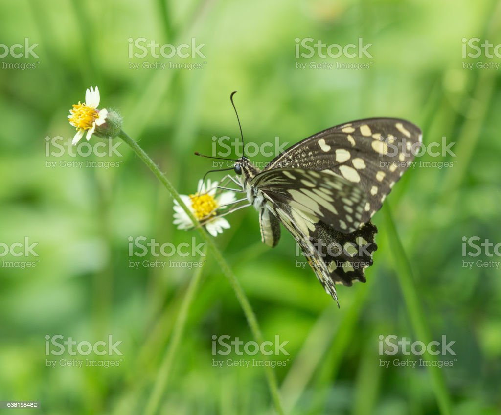 Black-veined Sergeant butterfly (Athyma ranga) on flower stock photo