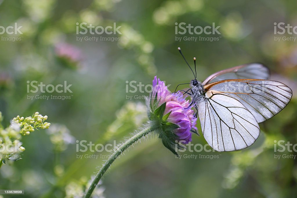 Black-veined White butterfly, Aporia crataegi royalty-free stock photo