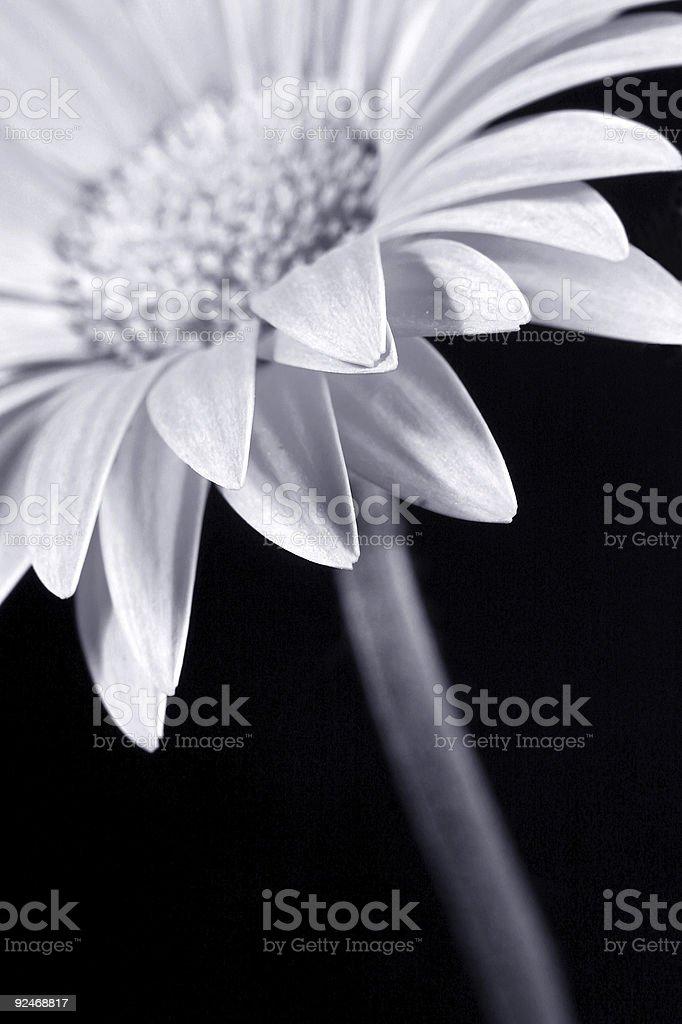 black/white flower royalty-free stock photo