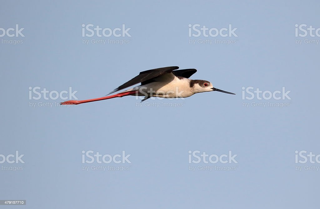 Black-winged stilt, Himantopus himantopus stock photo