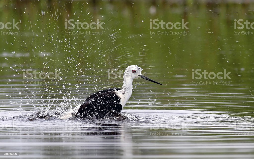 Black-winged Stilt, Himantopus stock photo