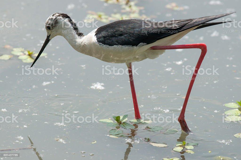 Black-winged stilt royalty-free stock photo