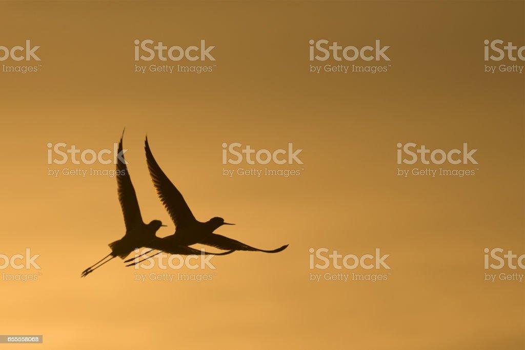 Black-Winged Stilt. stock photo