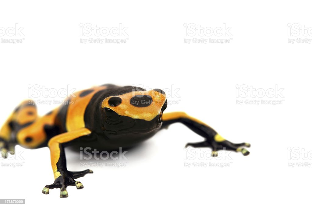 Black-yellow frog royalty-free stock photo