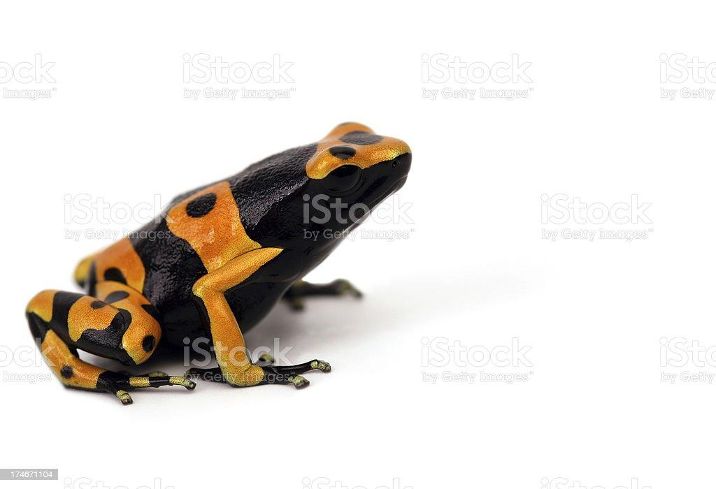 Black-yellow frog stock photo