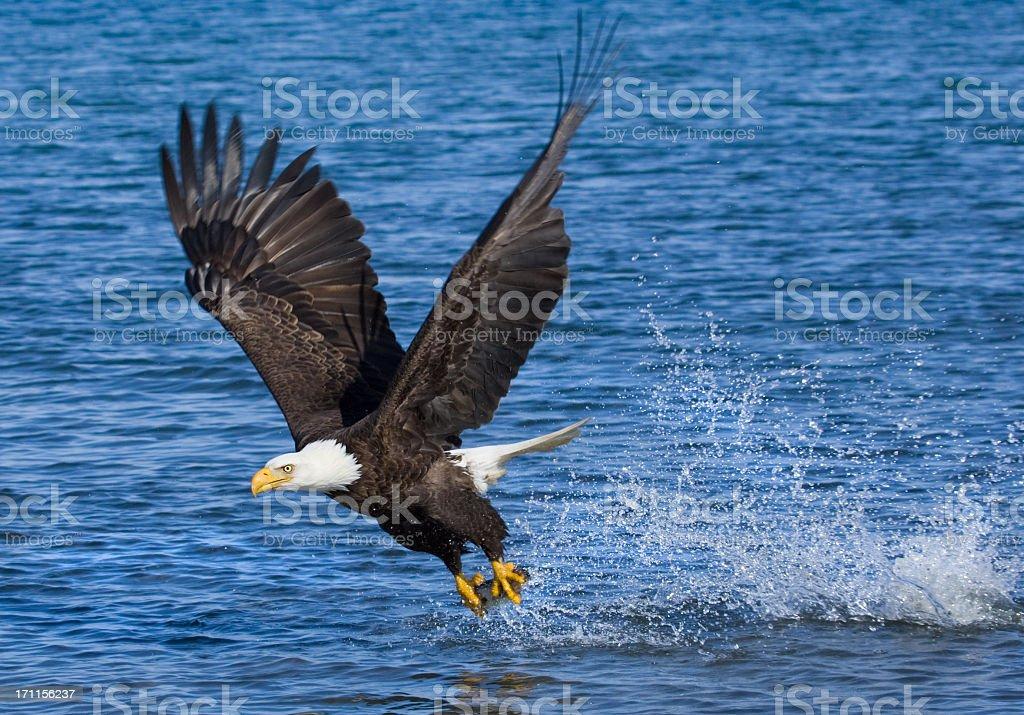 Blad Eagle catching fish - Alaska stock photo