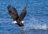 Blad Eagle catching fish - Alaska
