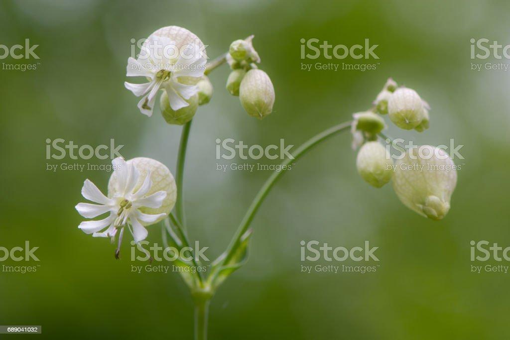 Bladder campion (Silene vulgaris) in flower stock photo