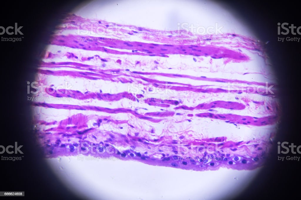 bladder cross section in microscope stock photo