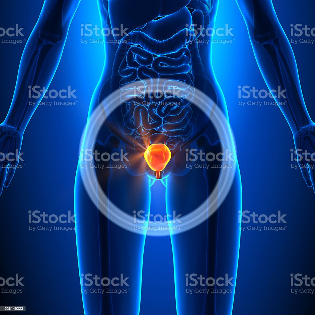 Bladder - Female Organs - Human Anatomy stock photo