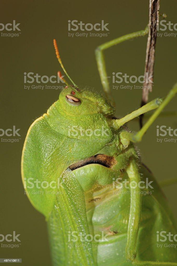 Bladder grasshopper royalty-free stock photo