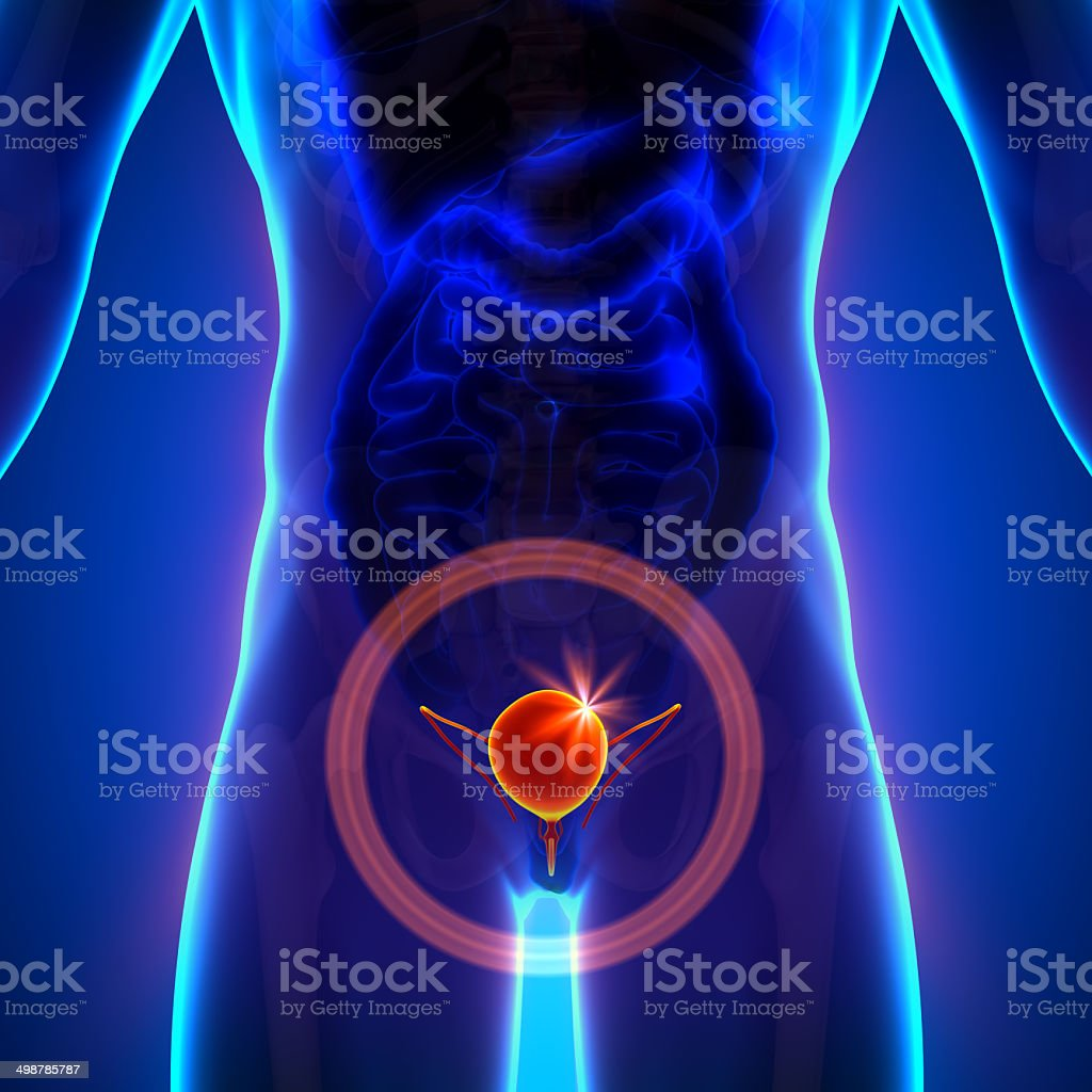 Bladder - Male anatomy of human organs - x-ray view stock photo