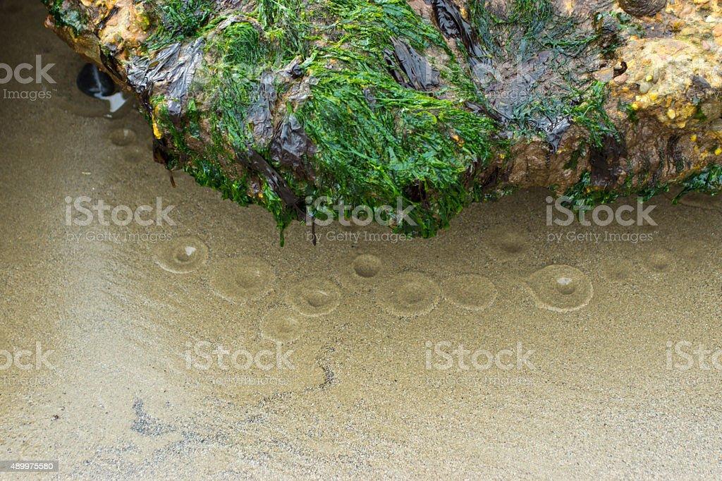 Bladder rack seaweed stock photo