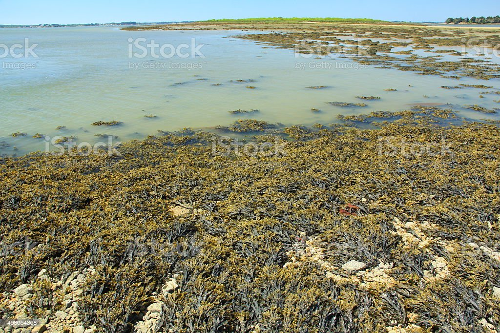 Bladder wrack at low tide stock photo