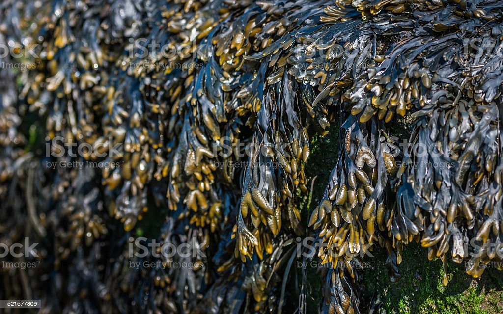 Bladder wrack seaweed on a rock at eb tide stock photo