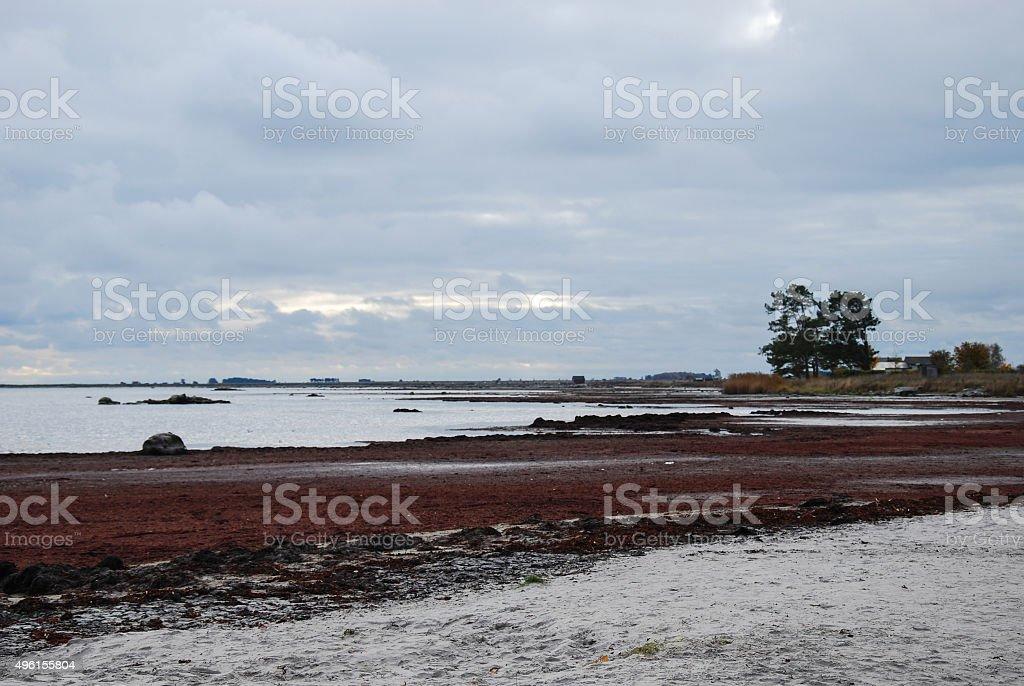 Bladderwrack at coast stock photo