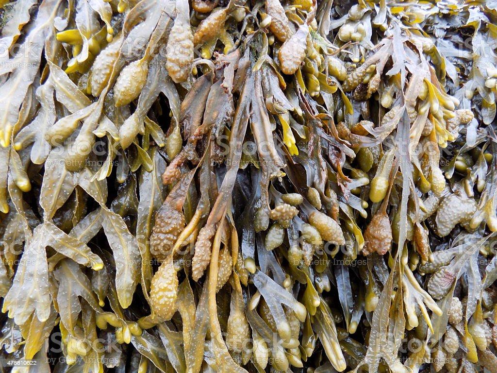 Bladderwrack Seaweed stock photo