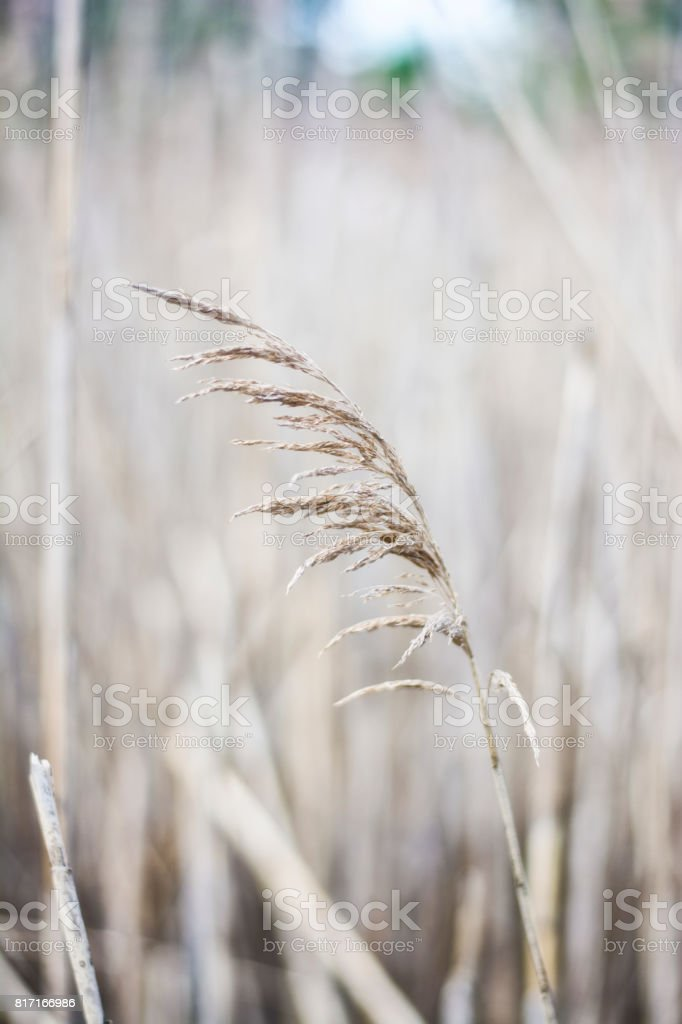 A blade of beach grass in front of a field. stock photo