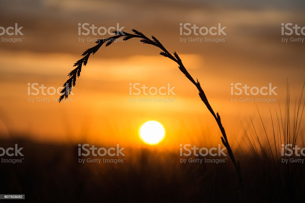 Blade of grass at sunset stock photo
