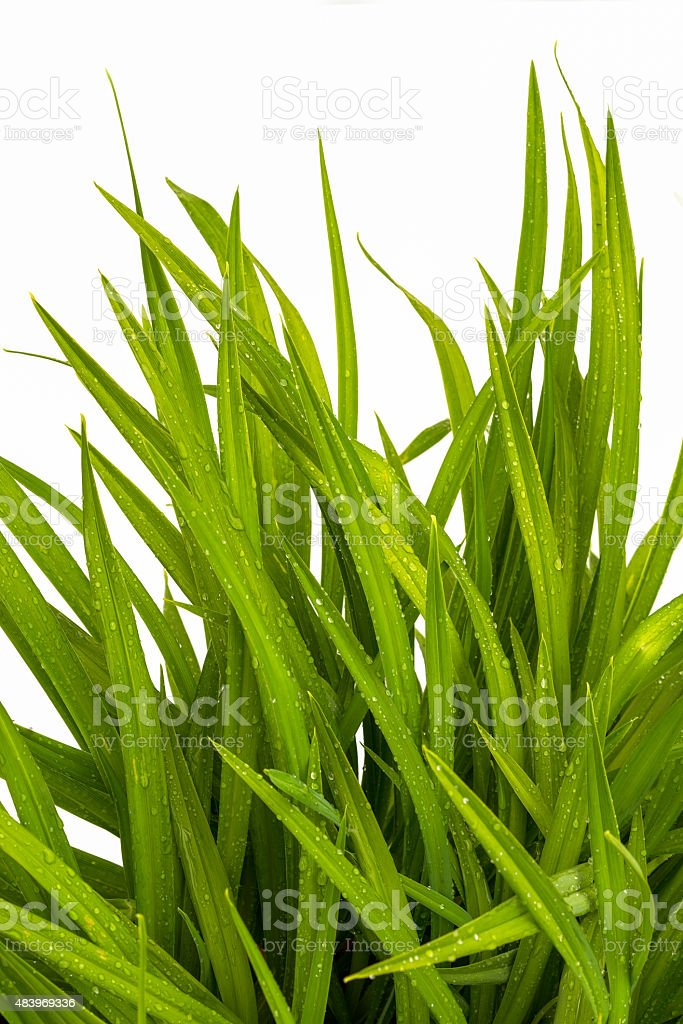 blade of grass on white background vector art illustration