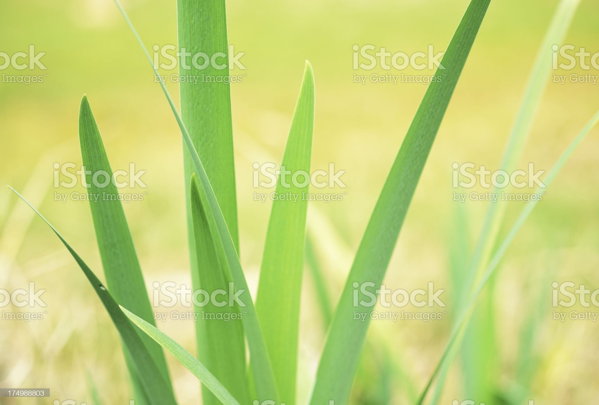 Blade of Grass royalty-free stock photo