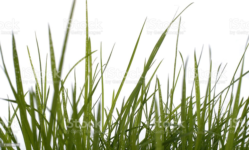 blades of grass against a white background royalty-free stock photo