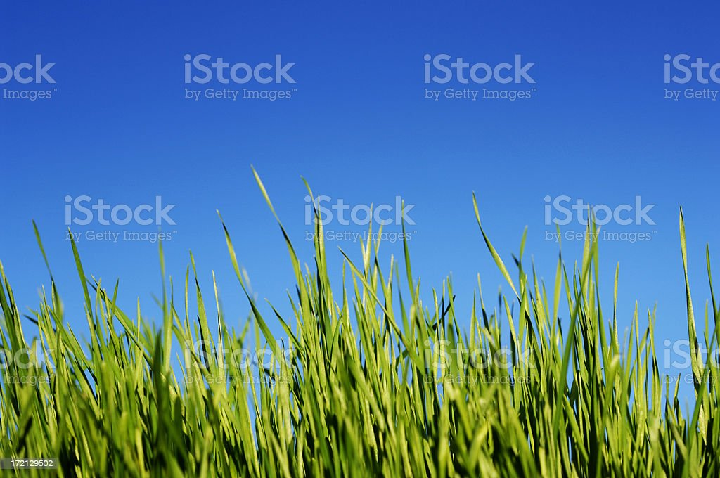 blades of grass against clear blue sky stock photo
