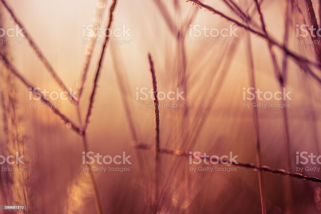 Blades of grass during sunset, close-up stock photo