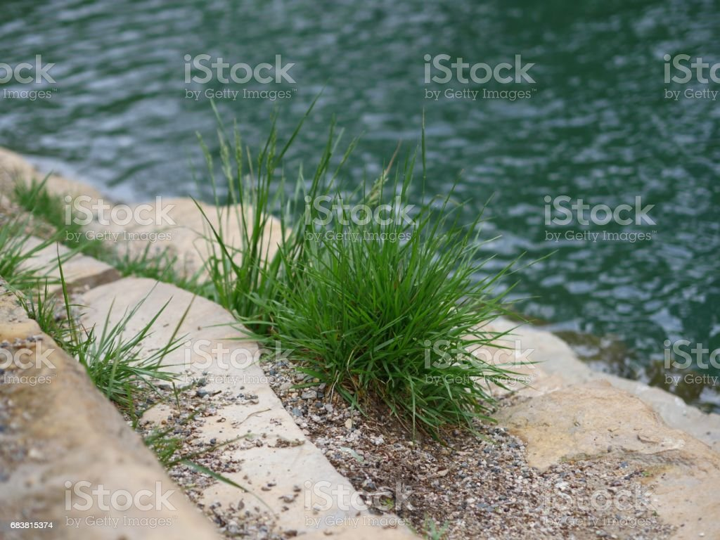 Blades of grass growing by the riverside stock photo