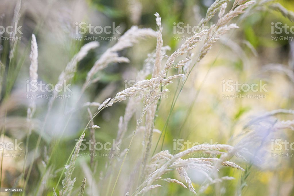 Blades of grass in the wind royalty-free stock photo