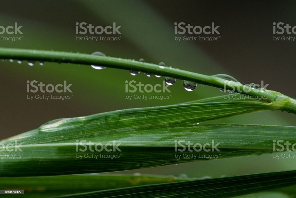 Blades of Grass, Water Droplets, Sweetgrass royalty-free stock photo