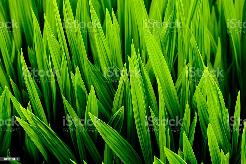 Blades of wheat grass stock photo