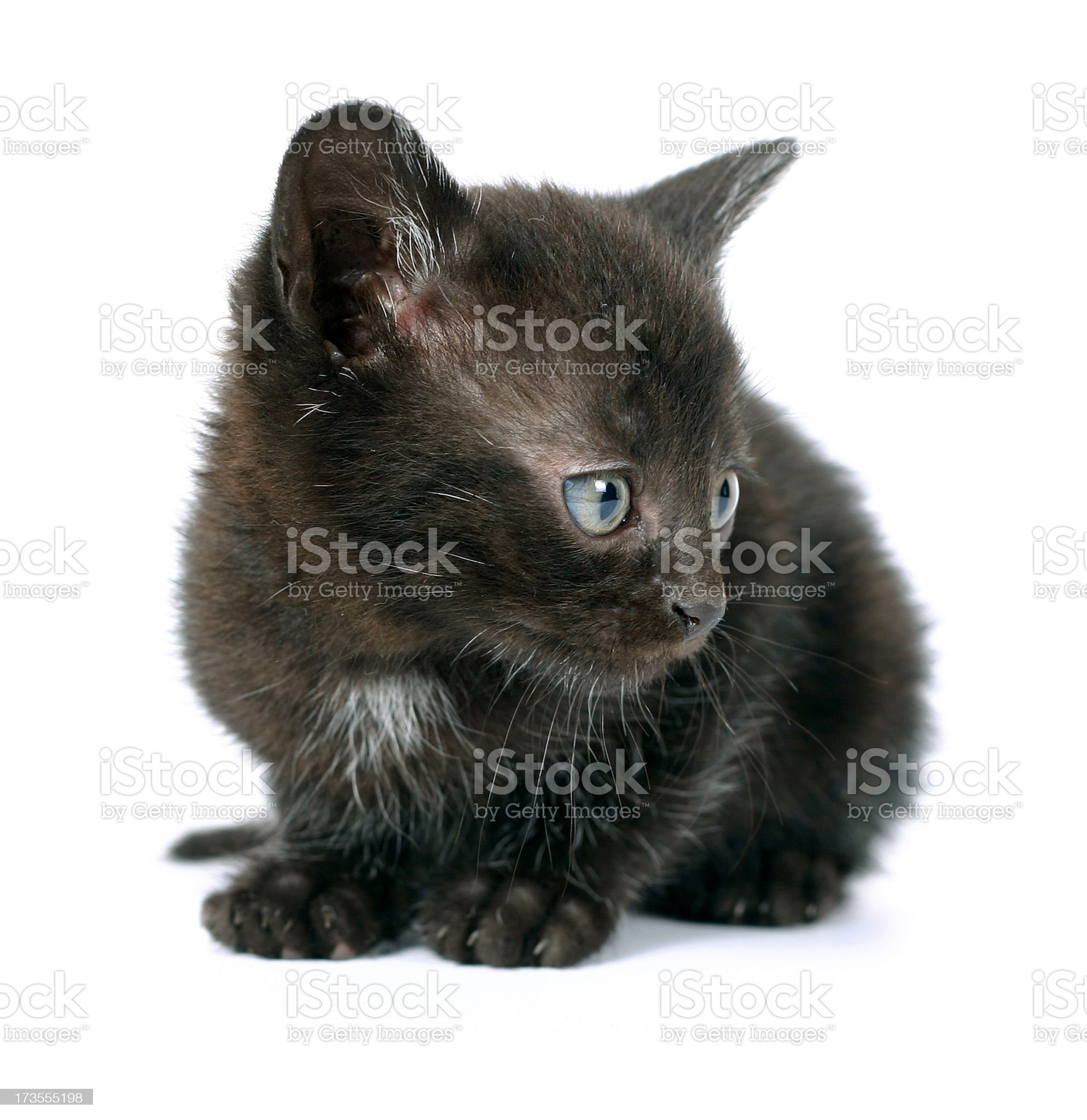 Blak Cat royalty-free stock photo