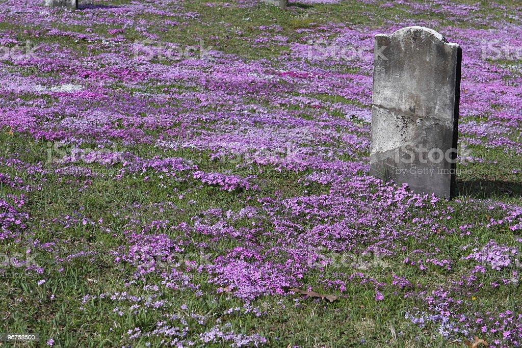 Blank Colonial Tombstone Amidst Graveyard Phlox stock photo