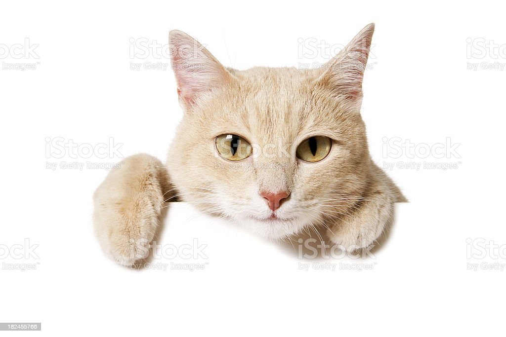 Blank Sign - Funny Cat stock photo