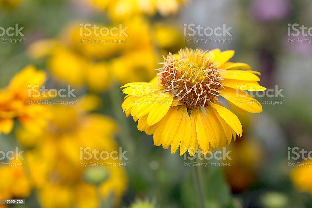 Blanket Flower - Gaillardia Commotion Moxie stock photo