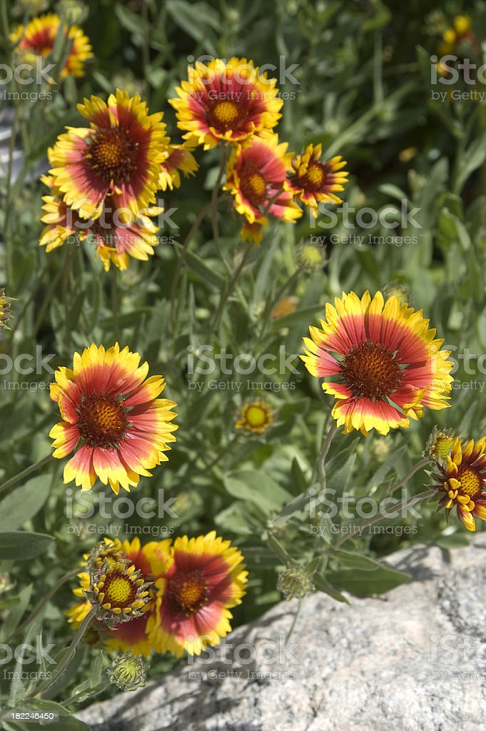 Blanket Flower, Gaillardia grandiflora stock photo