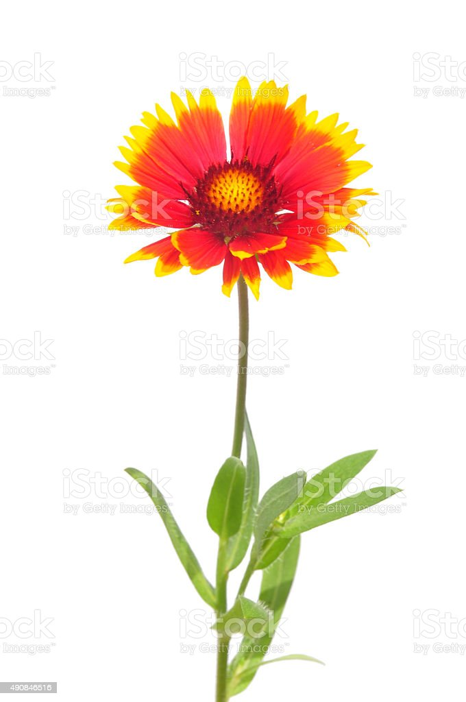 Blanket flower stock photo