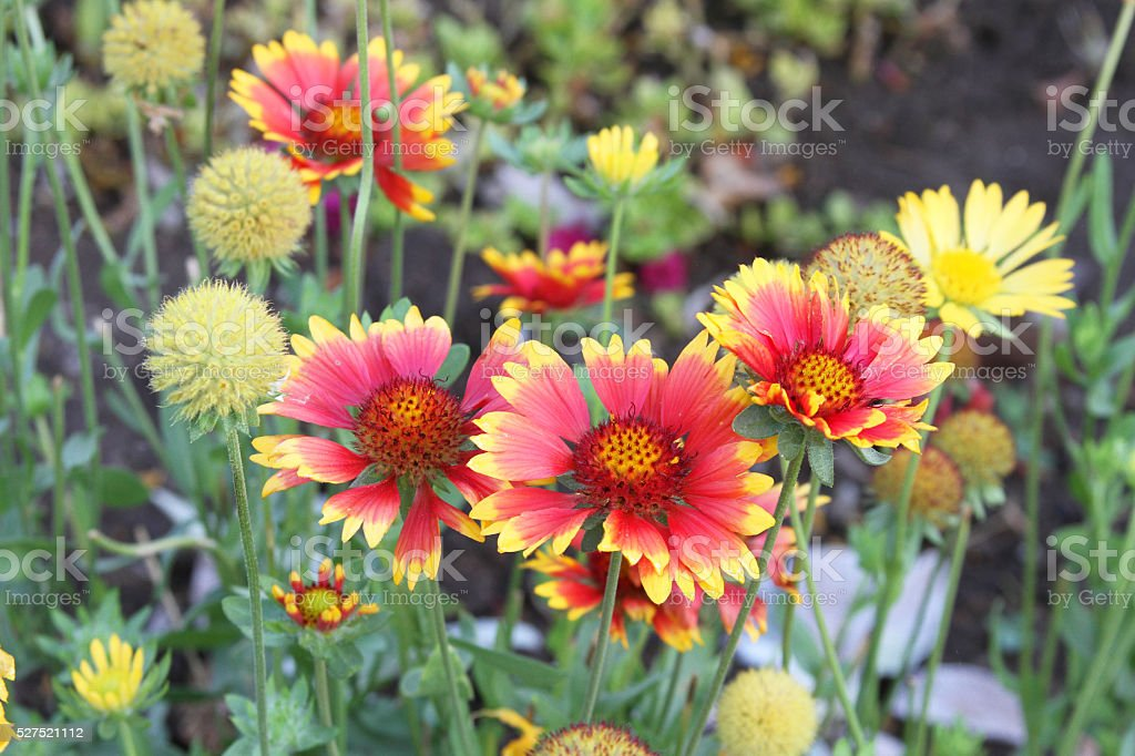Blanket Flowers, Gaillardia, in Garden in Peru stock photo