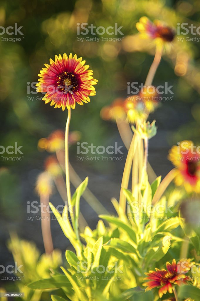Blanket flowers stock photo