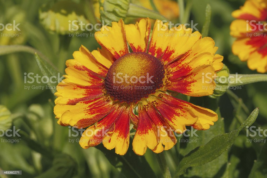 Blanket flowers (Gaillardia aristata) stock photo
