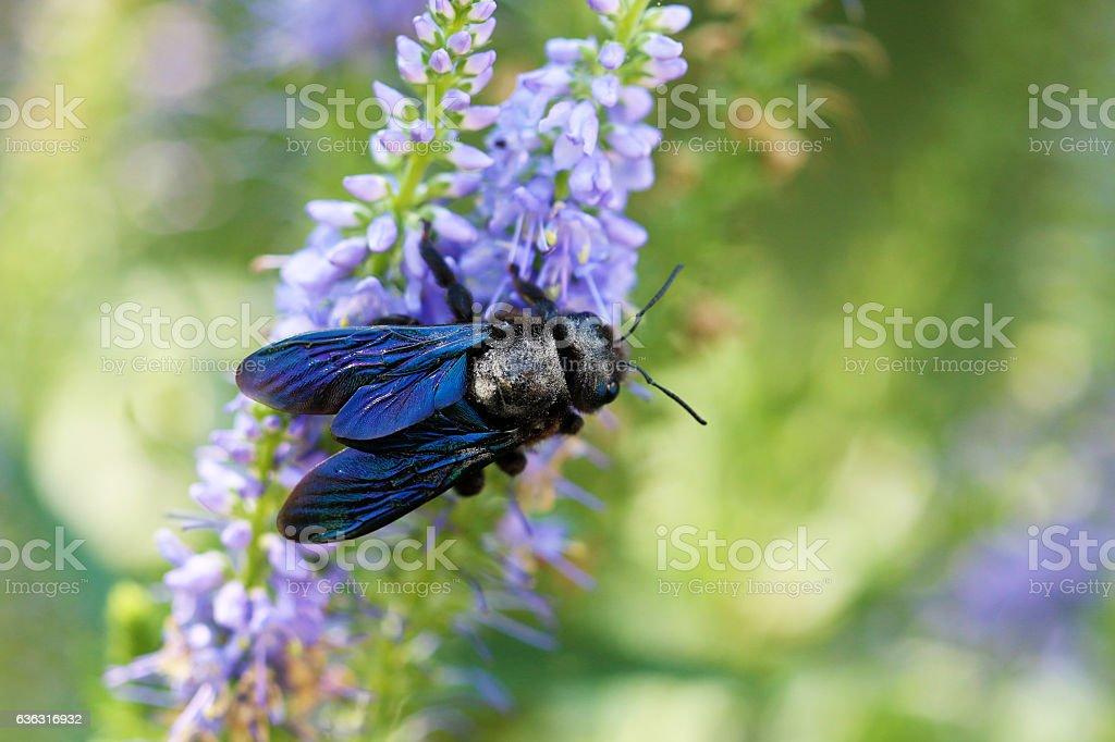Blaue Holzbiene stock photo