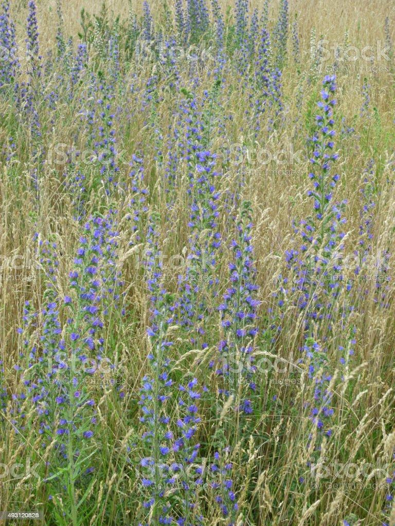Blauer Natternkopf, Echium stock photo