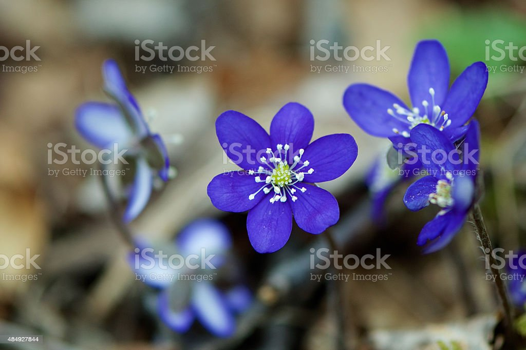 Blaveis (Blue Flowers) stock photo